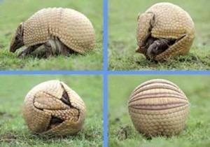 armadillo animal argentina